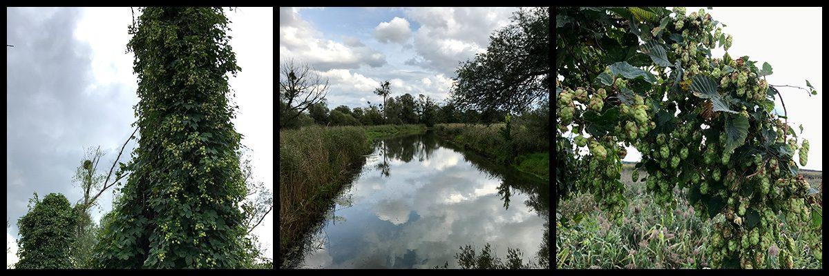 Hopfen an der alten Oder